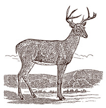 Male White-tailed Deer (odocoileus Virginianus) Buck In Side View, Standing In A Landscape. Illustration After A Historical Engraving From The 19th Century