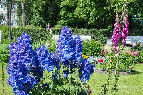 Tablou Canvas Blooming delphinium in the park.