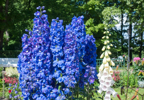 Leinwand Poster Blooming delphinium in the park.