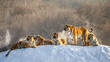 Several siberian (Amur) tigers on a snowy hill against the background of winter trees. China. Harbin. Mudanjiang province. Hengdaohezi park. Siberian Tiger Park. Winter. Hard frost.