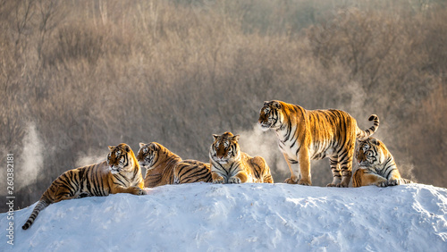 Photo sur Toile Tigre Several siberian (Amur) tigers on a snowy hill against the background of winter trees. China. Harbin. Mudanjiang province. Hengdaohezi park. Siberian Tiger Park. Winter. Hard frost.