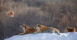 Siberian (Amur) tigers in a snowy glade catch their prey. Very dynamic shot. China. Harbin. Mudanjiang province. Hengdaohezi park. Siberian Tiger Park. Winter. Hard frost. (Panthera tgris altaica)
