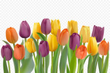 Fototapeta Tulips - Colorful tulips set