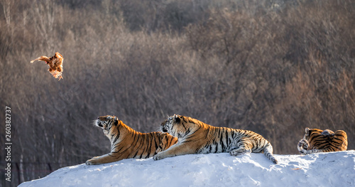 In de dag Tijger Siberian (Amur) tigers in a snowy glade catch their prey. Very dynamic shot. China. Harbin. Mudanjiang province. Hengdaohezi park. Siberian Tiger Park. Winter. Hard frost. (Panthera tgris altaica)