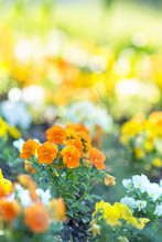 Viola Orange Flower In The Morning Sunlight. Selective Focus, Blurred Background.