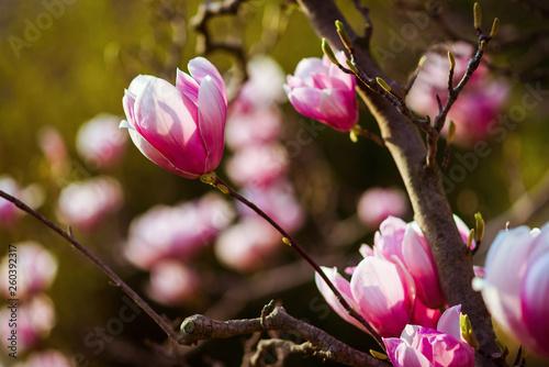 Large Pink Flowers On A Magnolia Tree