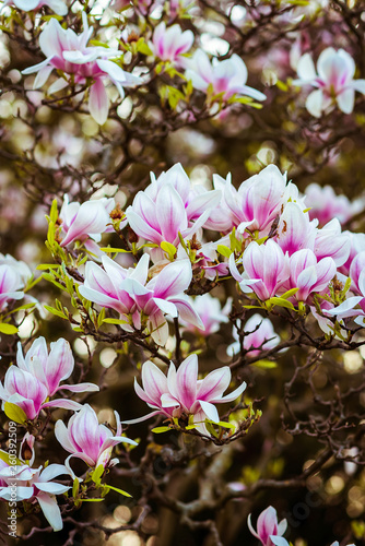 Magnolia Large Pink Flowers On A Magnolia Tree Spring In The