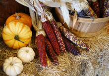 Colorful Indian Corn And Color...