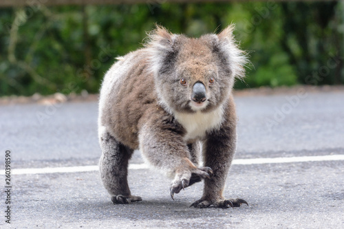 Fotobehang Koala Why did the koala cross the road
