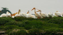 A Colony Of American White Pelicans (Pelecanus Erythrorhynchos) Sit On A Green Ridge While One Snaps Its Bill.