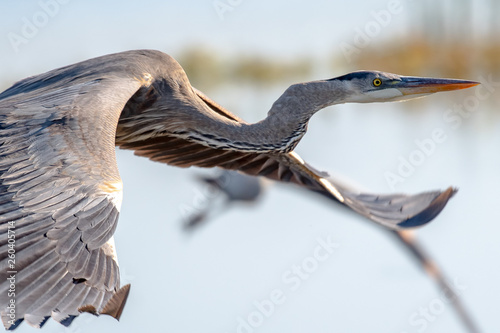 Fotografia Great blue heron flying over a lake