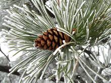 Snowy Ponderosa Pinecone (Pinus Ponderosa) At Yellowstone River State Park, Montana