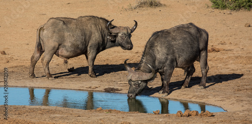 Poster Buffalo Cape Buffaloes with large curved horns at a waterhole