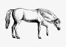Arabian Horse Shade Drawing