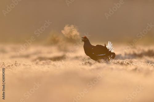 фотография  Black grouse at sunrise with breath fume