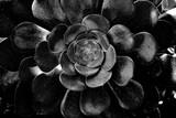 kwitnący duży kwiat w kolorze czarnym z wieloma wieloma liśćmi - 260445761