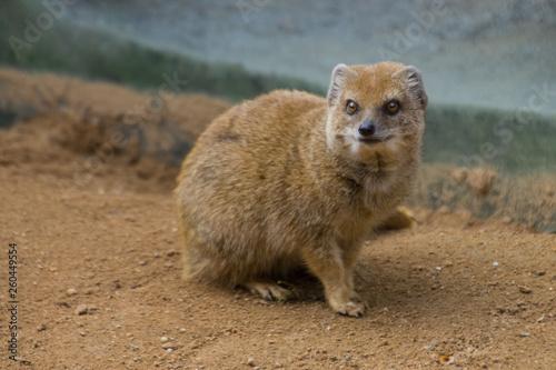 Slika na platnu Yellow Mongoose on the sand