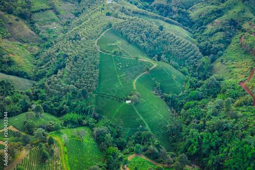 фотография  aerial view agricultural area green tea on the mountain at doi chiang rai Thaila