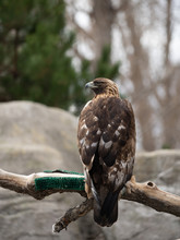 A Golden Eagle Perched On A Limb With Back To Camera