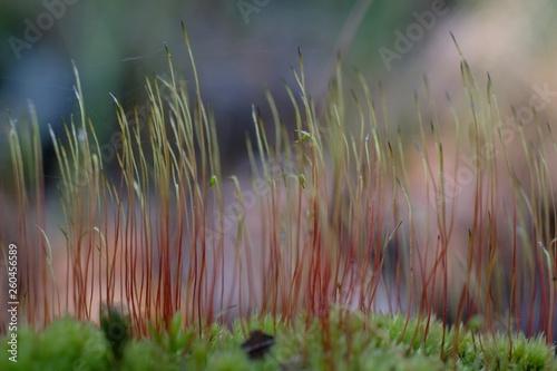 Fotografie, Obraz  Zielono-czerwony mech