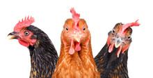 Portrait Of  Three Chickens, C...