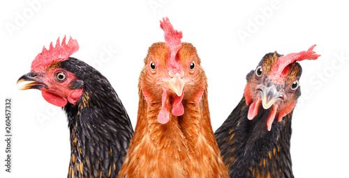 Leinwand Poster Portrait of  three chickens, closeup, isolated on white background