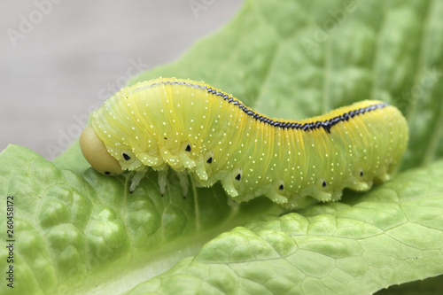 Fotomural  Cimbex femoratus, the birch sawfly caterpillar