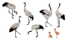 Common Crane Or Grus Grus Or Eurasian Crane. A Collection Of Gray Cranes In Various Poses. Birds Are Looking For Food, Standing, Dancing. Exploded Wild Birds And Their Chicks. Realistic Vector Animals