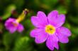 Leinwandbild Motiv Purple spring flower Prímula juliae