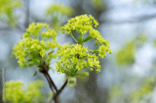 Photo Acer platanoides flowering tree branches, bright yellow green flowers in bloom,