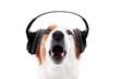 Hund trägt Kopfhörer und bellt oder heult dazu, freisteller vor Weiß