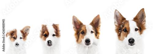 Panorama, Hund zeigt Wachstum oder Wachstumsphase, von Welpe bis ausgewachsen Fototapet