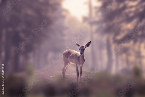 Photo Alone small deer cub in the fog of a winter forest mountain