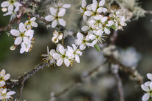 Hawthorn White Flowers Close Up