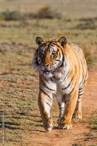Foto auf AluDibond Tiger Male tiger walking in Tiger Canyons Game Reserve in South Africa