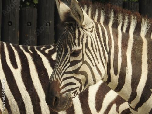 Door stickers Zebra Zebra collection #1