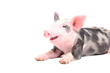 Funny Little Pig Smiling Lying Isolated On White Background