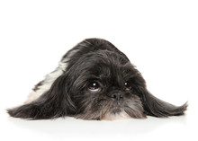 Adult Shih Tzu Dog On White Background