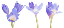 Three Groups Of Blue Crocus Fl...