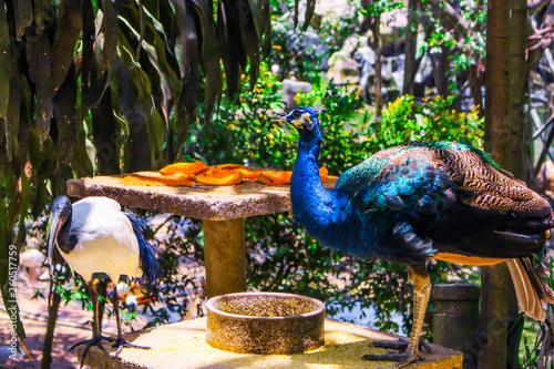 Photo  The image of peacocks with their feed (fruits) in Kuala Lumpur Bird Park in Kuala Lumpur, Malaysia