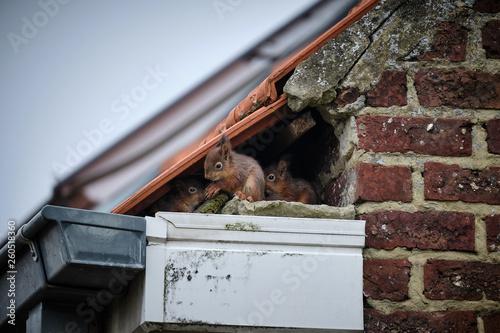 Fototapeta Squirrels on the roof obraz