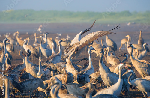 Common crane in Birds Natural Habitats Fototapeta