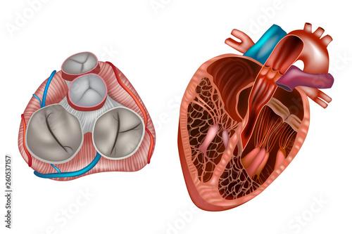 Photo  Heart valves anatomy