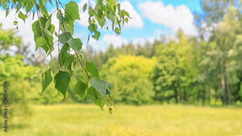 Tuinposter Zwavel geel Summer spring landscape - view of the birch branch in the deciduous forest on a sunny day, closeup, with space for text