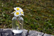 Romantic Daisy flowers (Bellis perennis) in a small glass bottle