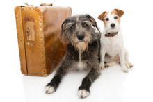 TWO DOGS GOING ON VACATIONS. JACK RUSSELL AND SHEEPDOG NEXT TO A VINTAGE SUITCASE. ISOLATED AGAINST WHITE BACKGROUND.