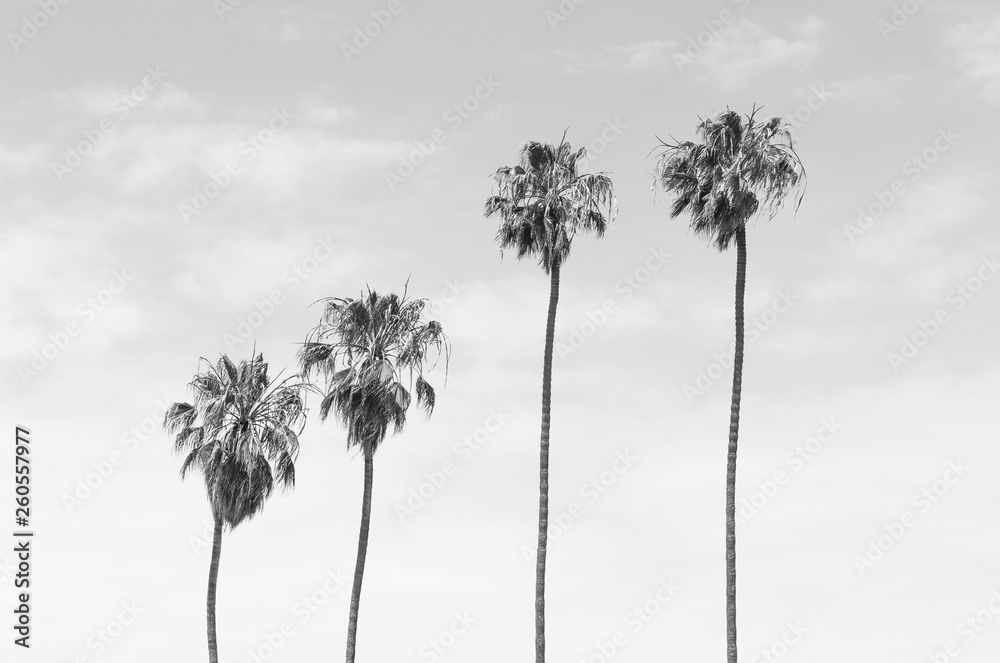 Fototapeta Black and white toned four tall Palm trees with sky background