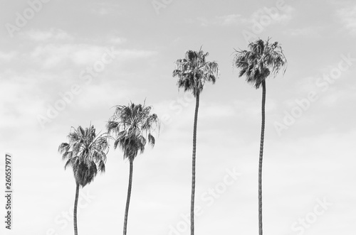 Fényképezés Black and white toned four tall Palm trees with sky background
