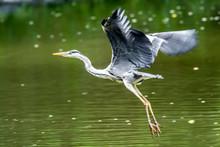 Ein Fischreiher Im Flug (Ardea Cinerea)