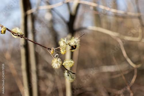 Bąk na kwitnącym drzewie - 260578138